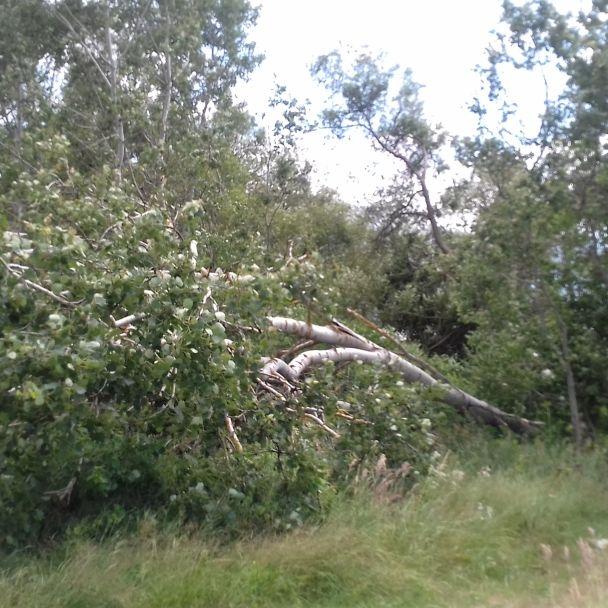 Strom, ktorý vyvrátil silný vietor sa stále drží života