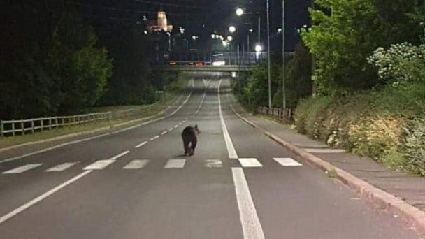 Po Žiari sa prechádzal medveď
